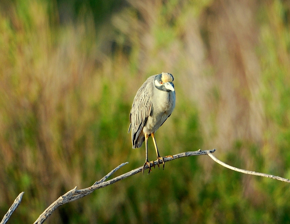 Yellow-crowned Night Heron | Bosque del Apache | April, 2012