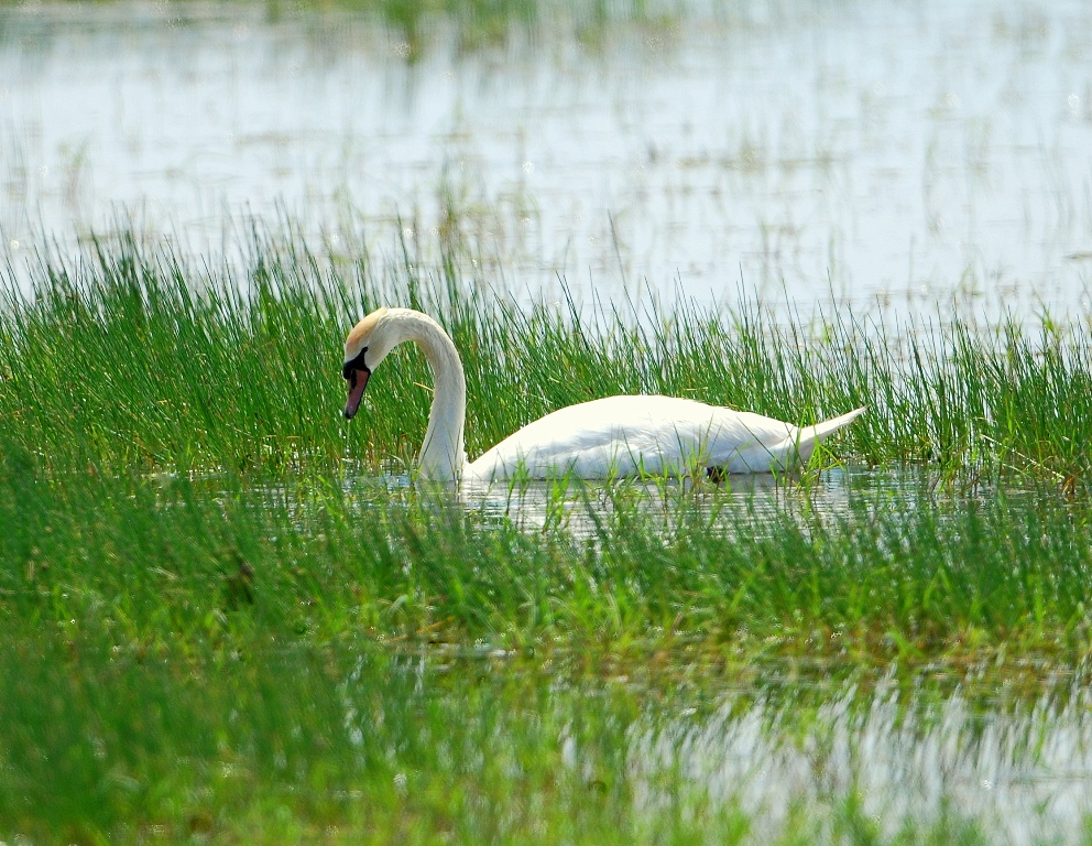 Mute Swan | Bosque del Apache | April, 2012