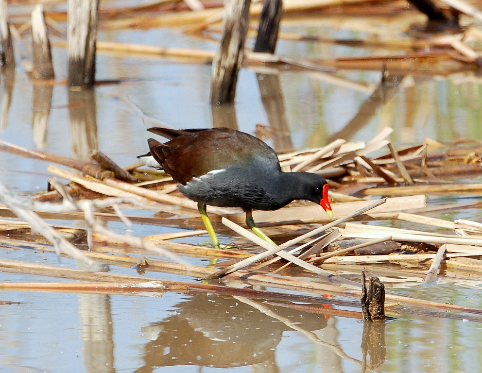 Common Moorhen | Bosque del Apache | April, 2012