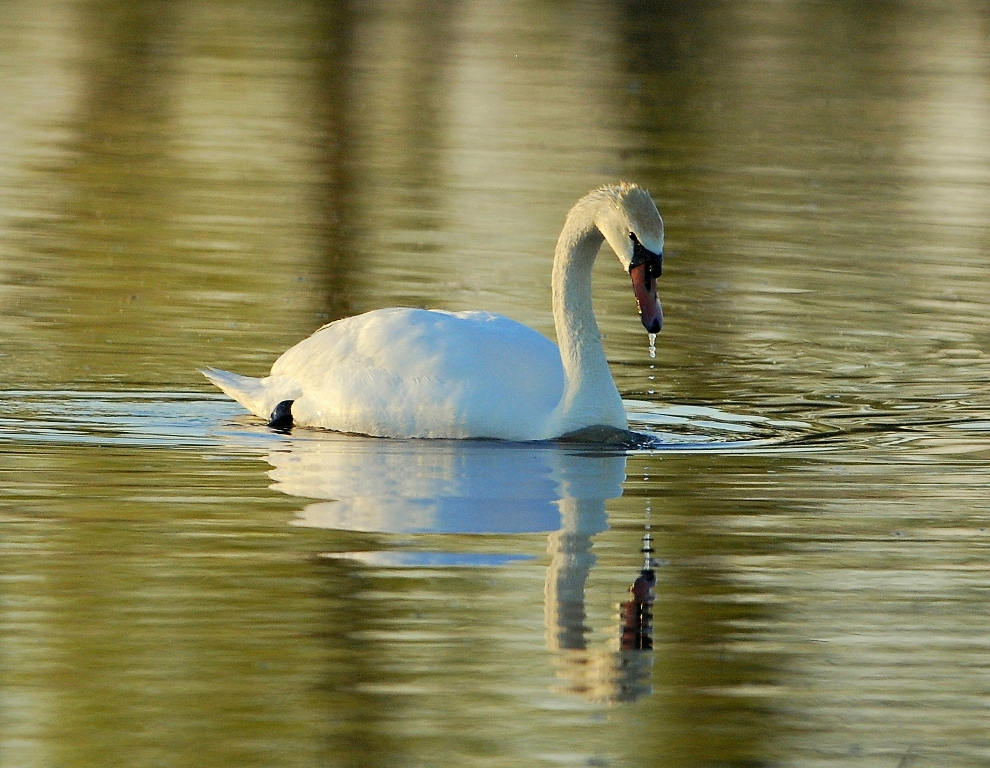 Mute Swan | Bosque del Apache | May, 2012