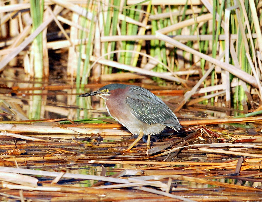 Green Heron | Bosque del Apache | May, 2012