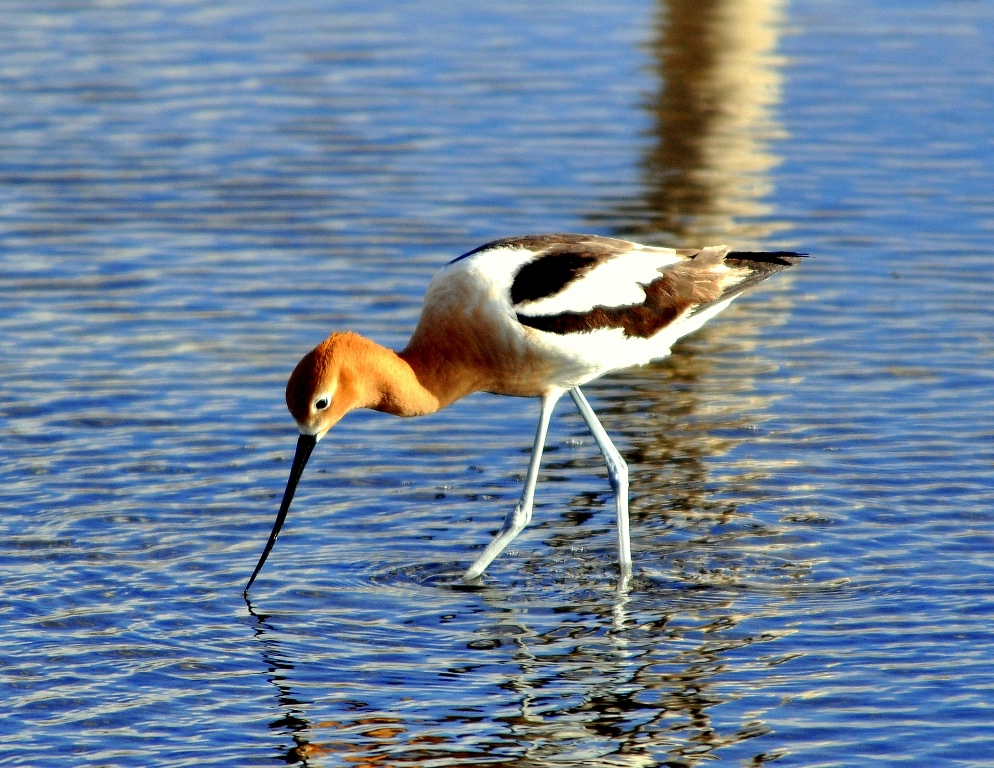 American Avocet | Walden, Colorado | May,2012