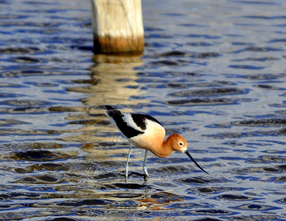 American Avocet | Walden, Colorado | May, 2012