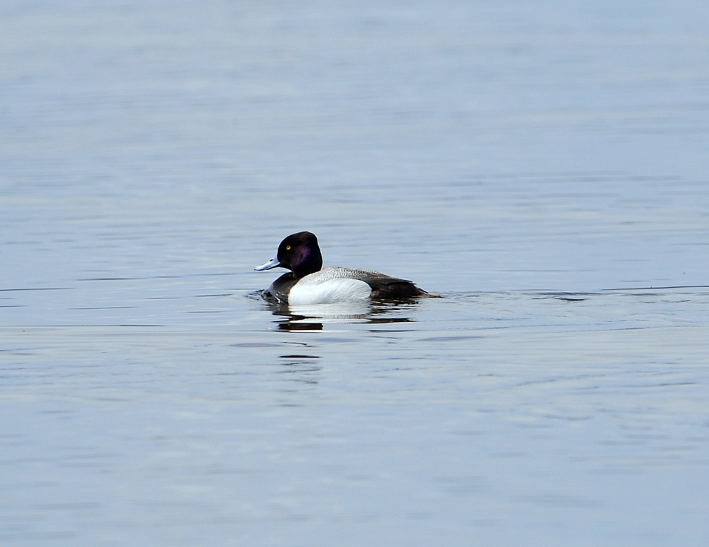 Lesser Scaup | Walden, Colorado | May, 2012