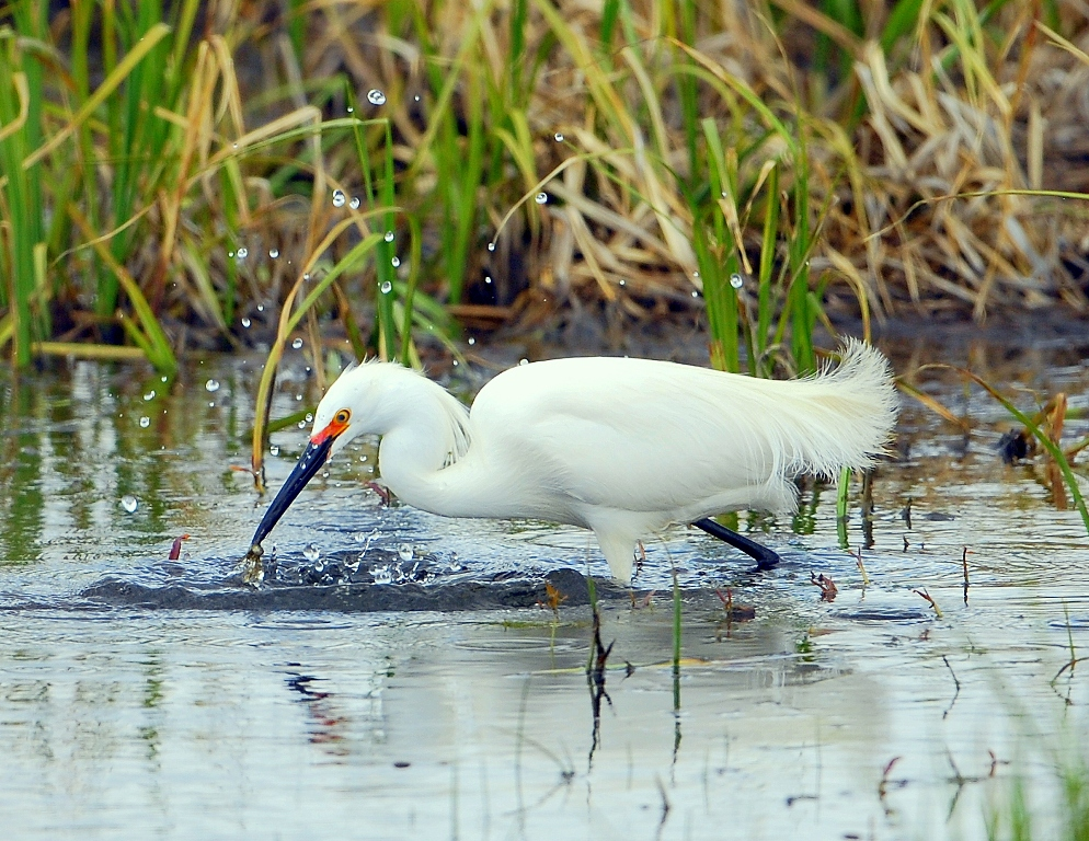 Snowy Egret | Walden, Colorado | May, 2012