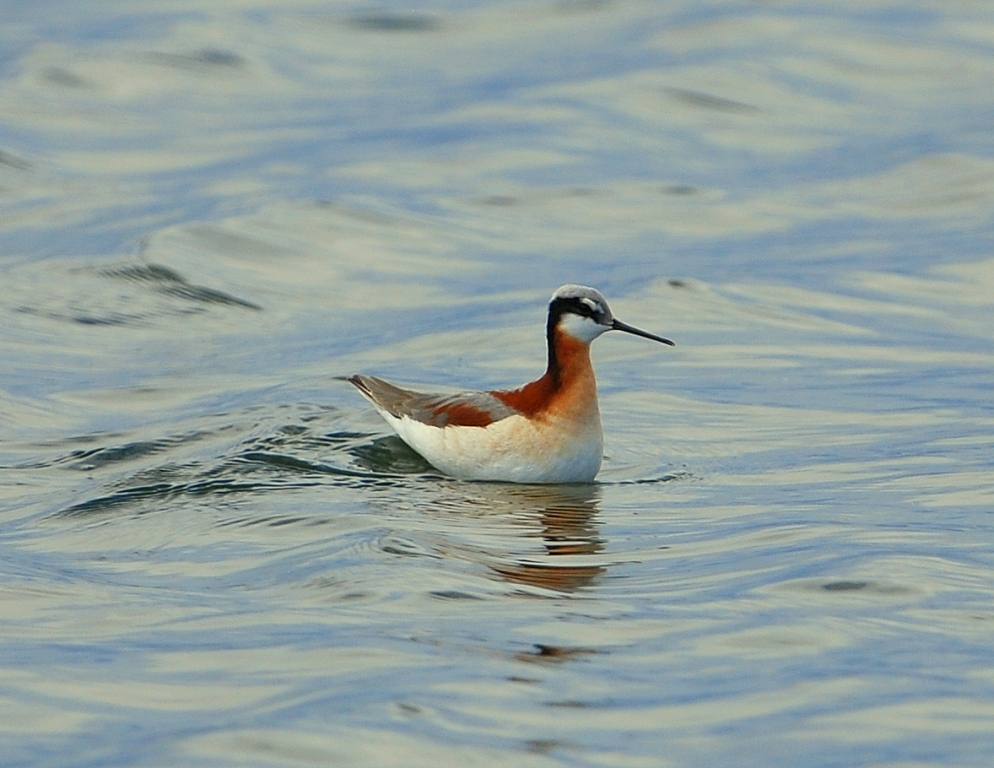 Wilson's Phalarope – Female | Walden, Colorado | May, 2012