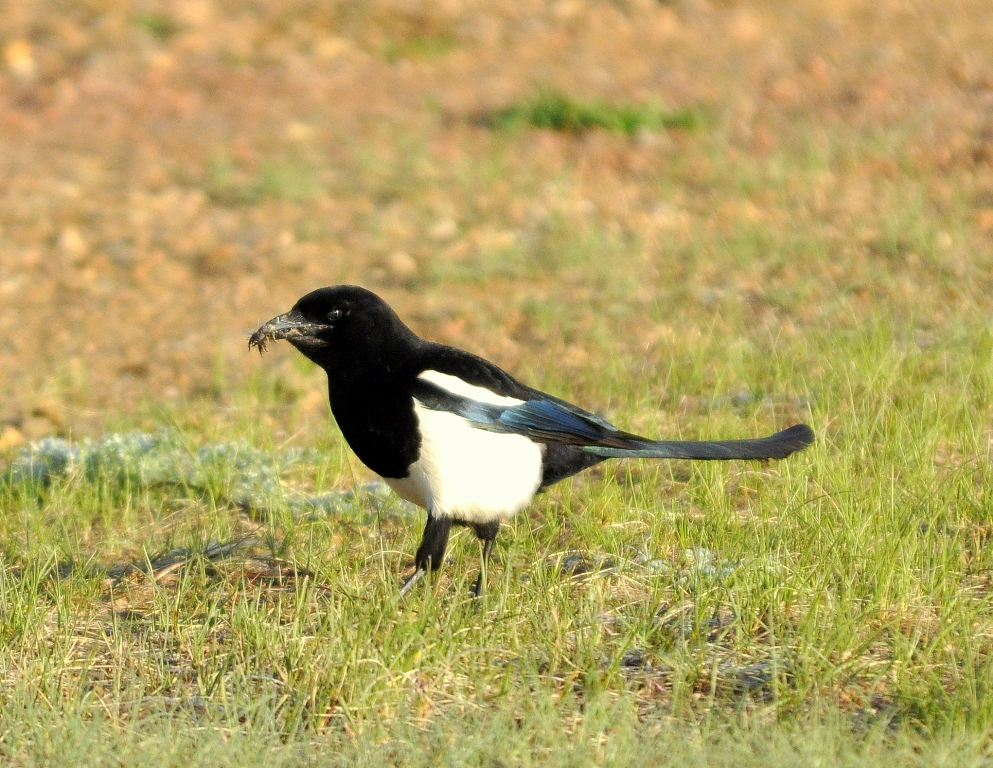 Black-billed Magpie | Walden, Colorado | May, 2012