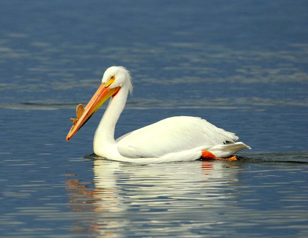 American White Pelican | Walden, Colorado | May, 2012