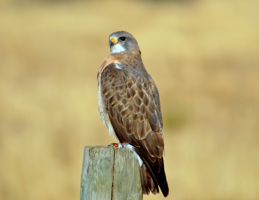 Swainson`s Hawk | Walden, Colorado | May, 2012