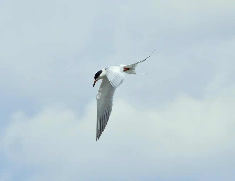 Forster`s Tern | Walden, Colorado | May, 2012