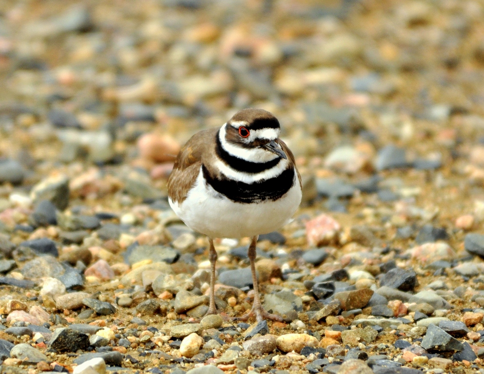 Killdeer | Walden, Colorado | May, 2012