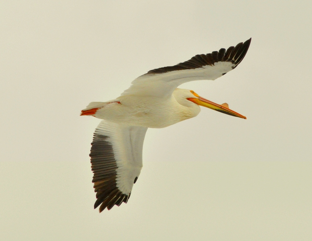 American White Pelican | Walden, Colorado | April, 2010