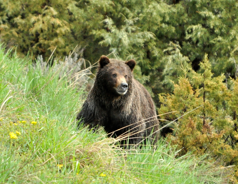 Grizzly Bear | Yellowstone National Park | May, 2011