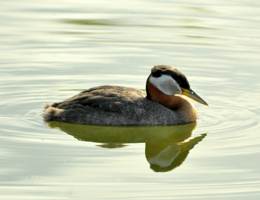 Red-necked Grebe | Wasilla, Alaska | June,2011