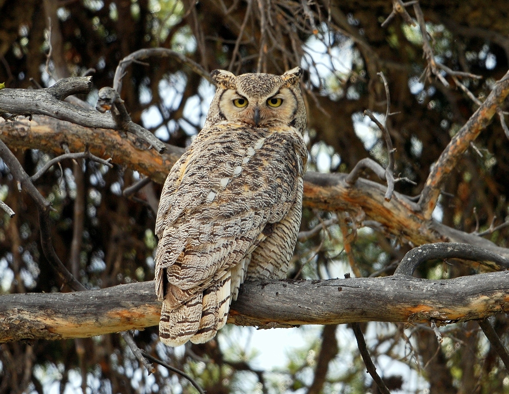 Great Horned Owl | Burgess Junction, Wyoming | June, 2012