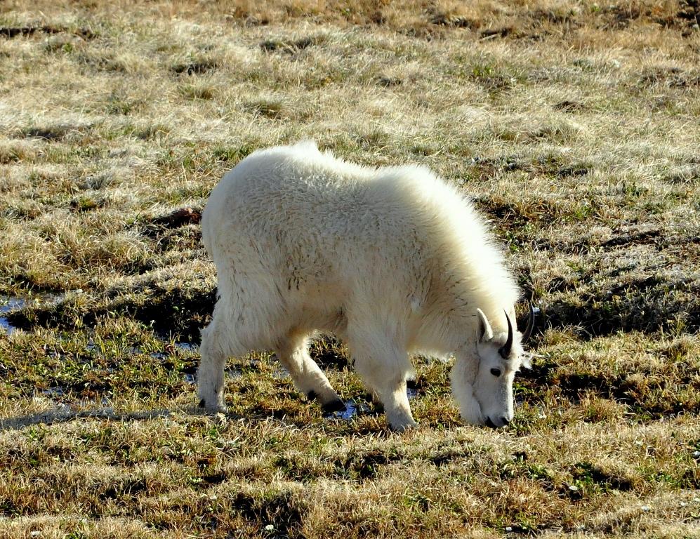 Mountain Goat   Bear Tooth Pass, Montana   June, 2012