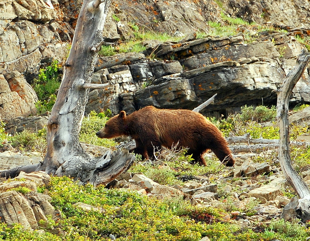 Grizzly Bear | Glacier National Park | June, 2012