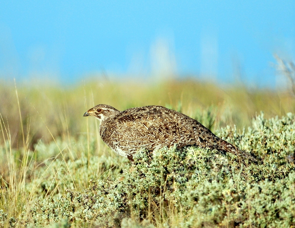 Greater Sage Grouse – Female | Walden, Colorado | June, 2012