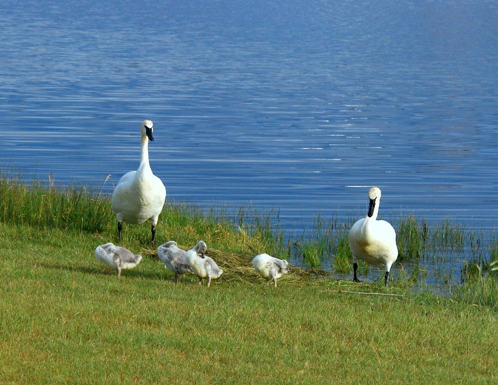 Trumpeter Swans | Pagosa Springs, Colorado | July, 2012