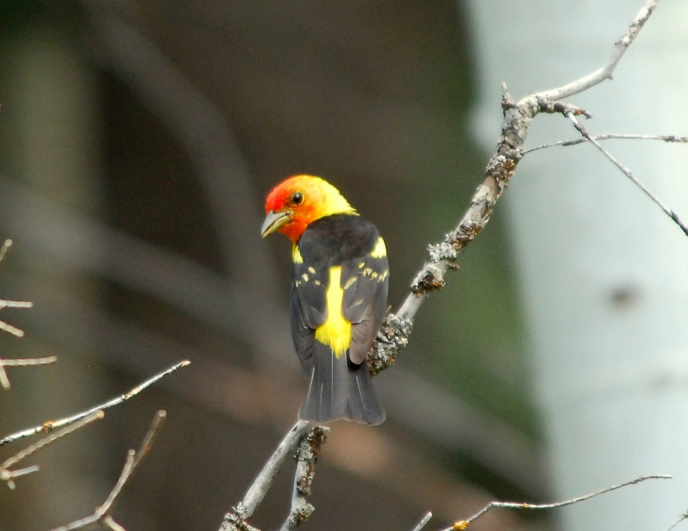 Western Tanager – Male | Pagosa Springs, Colorado | July, 2012