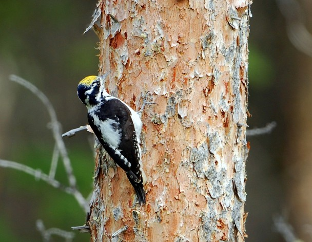 Three-toed Woodpecker | Cody, Wyoming | June, 2012
