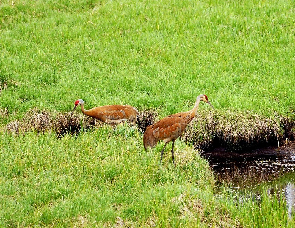 Sandhill Cranes | Yellowstone National Park | June, 2012