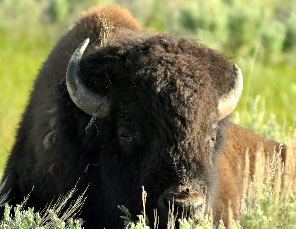 Bison – Bull | Yellowstone National Park | June, 2012