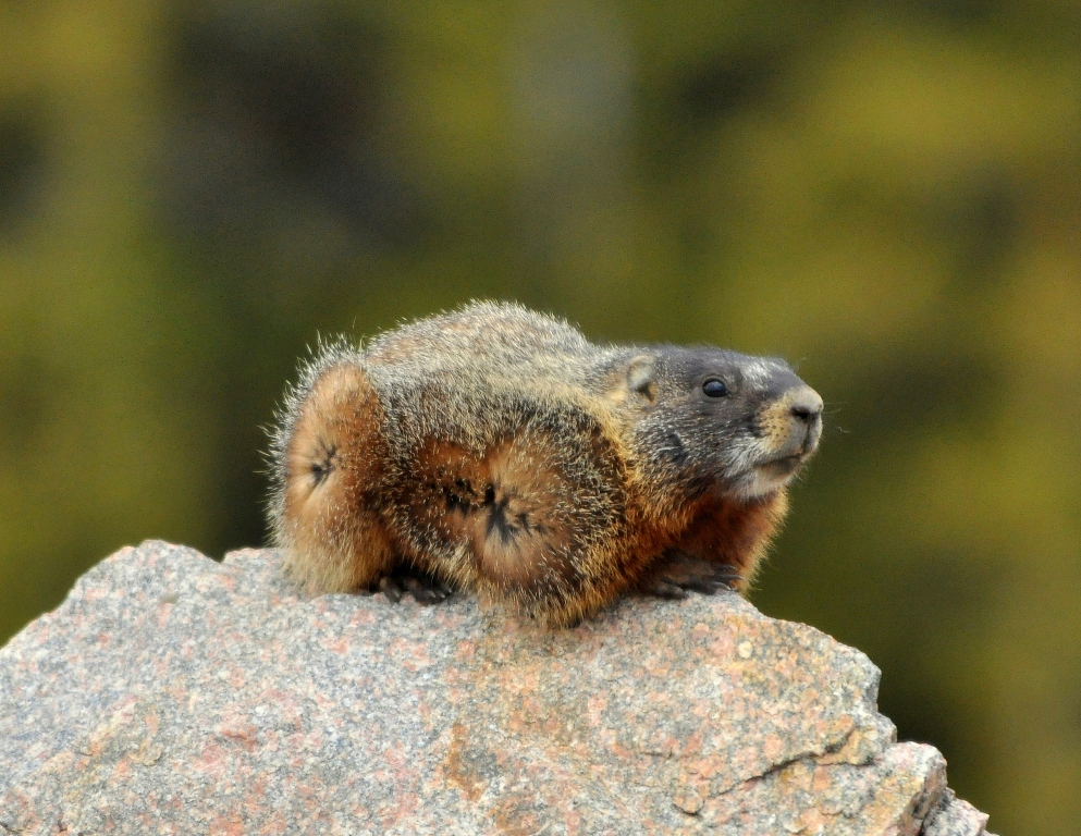 Marmot – Yellow-bellied | Bear Tooth Pass, Montana | June, 2012