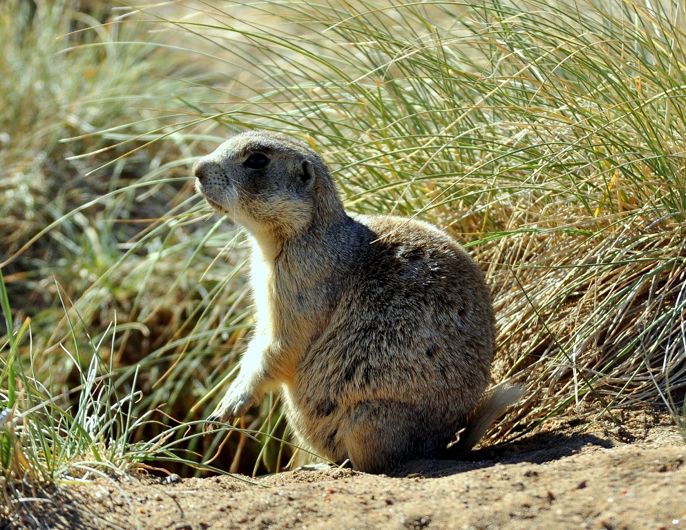 Prairie Dog – White-tailed | Walden, Colorado | June, 2012