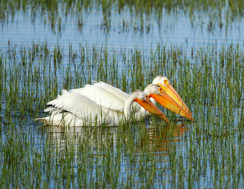 American White Pelican | Yellowstone National Park | June, 2012