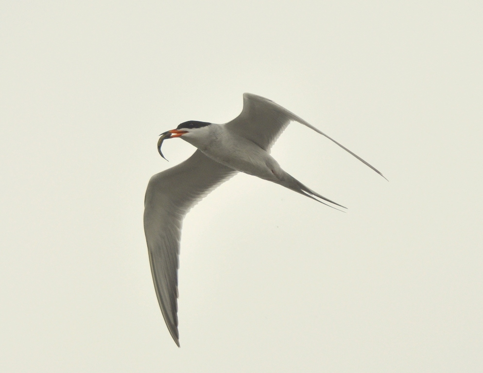Forster's Tern | Walden, Colorado | June, 2012