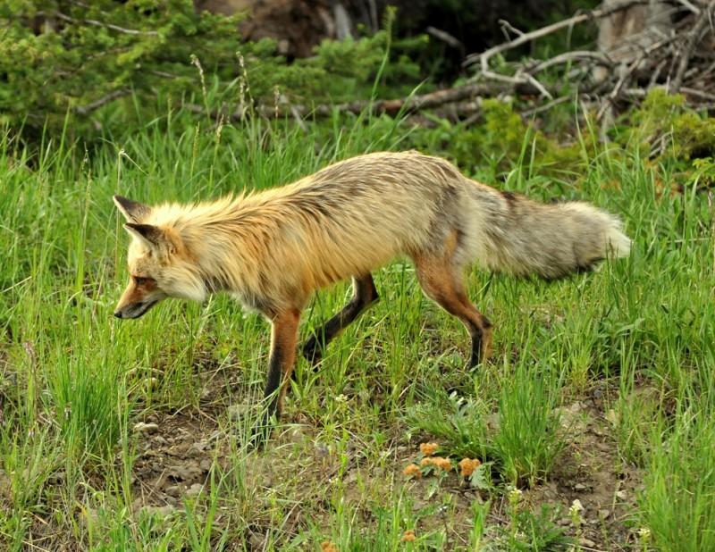 Red Fox   Cooke City, Montana   June, 2012