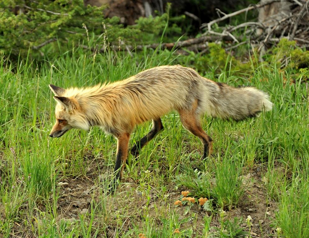 Red Fox | Cooke City, Montana | June, 2012