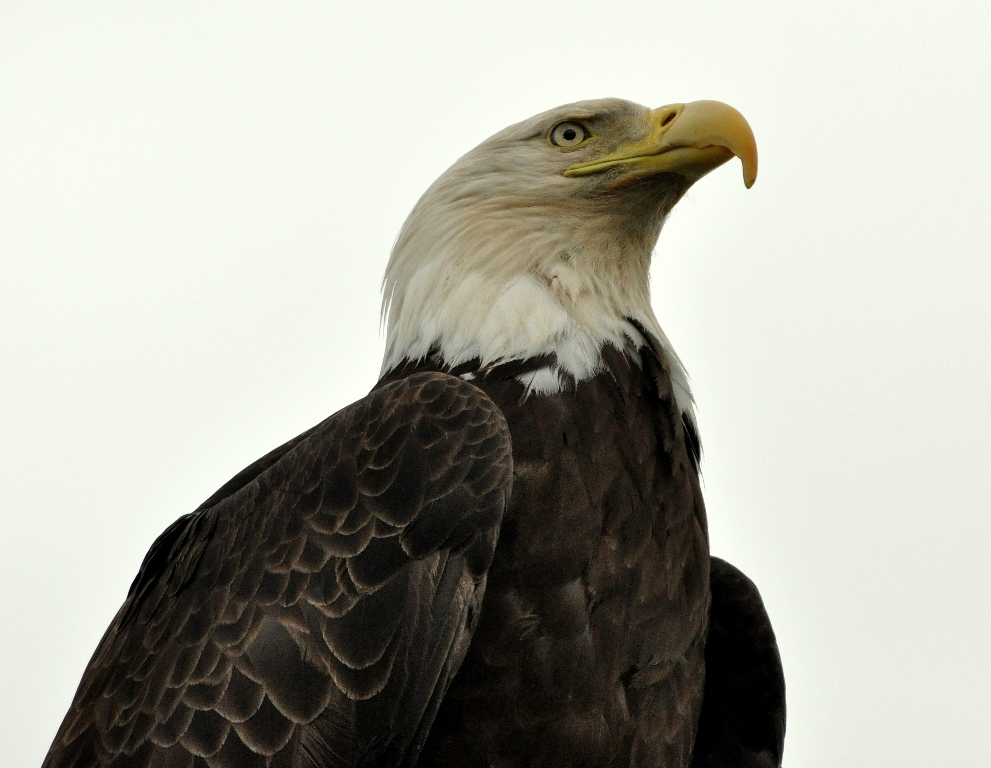 Bald Eagle | Homer, Alaska | June, 2011
