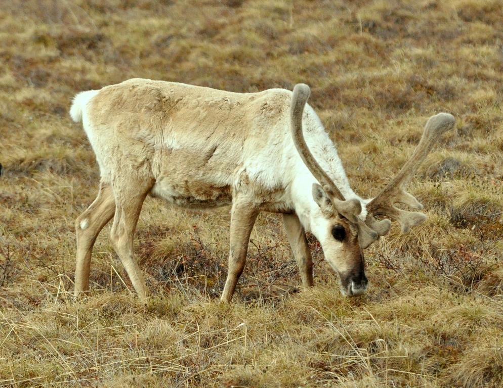 Caribou – Bull | Deadhorse, Alaska | June, 2011