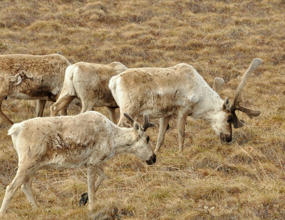 Caribou | Deadhorse, Alaska | June, 2011