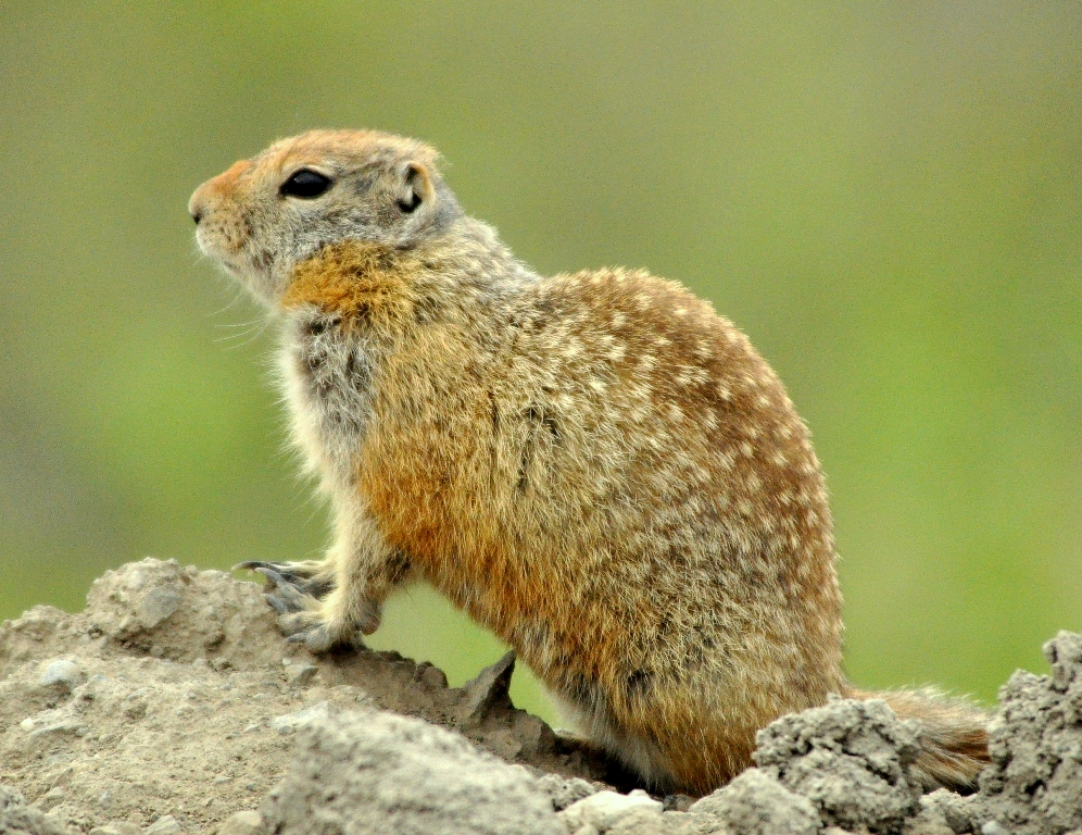 Arctic Ground Squirrel | Deadhorse, Alaska | June, 2011