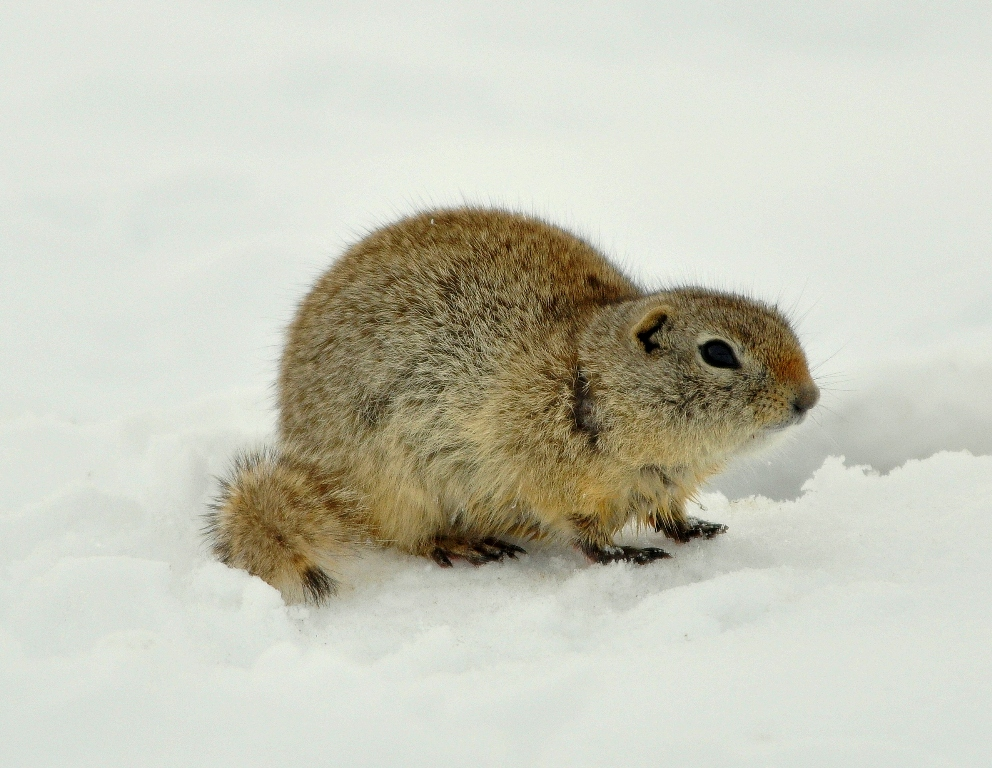 Wyoming Ground Squirrel | Walden, Colorado March, 2010