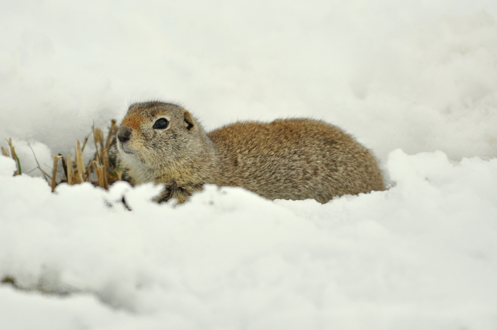 Wyoming Ground Squirrel | Walden, Colorado | March, 2010