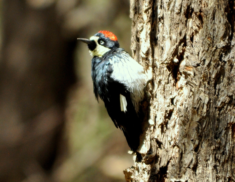 Acorn Woodpecker | Cave Creek Canyon, Arizona | September, 2012