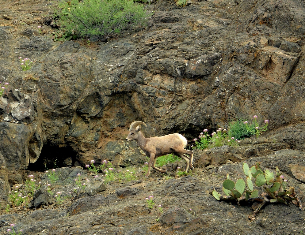 Desert Bighorn Sheep – Ram | Lordsburg, New Mexico | September, 2012