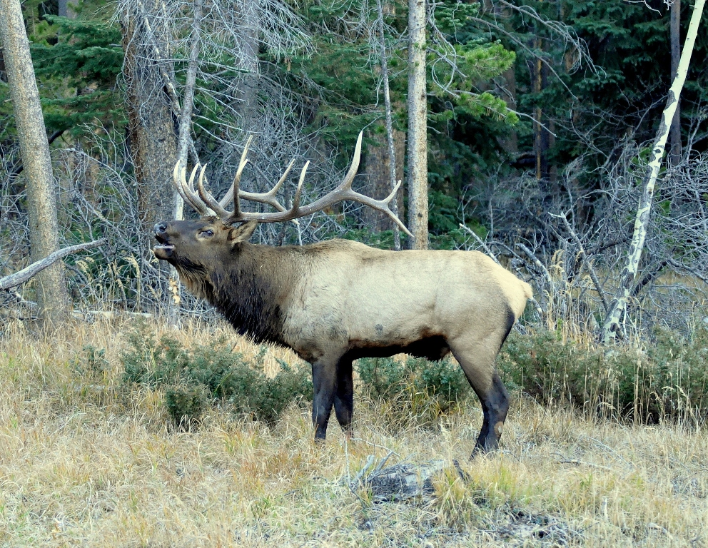 Elk – Bull | Grand Lake, Colorado | October, 2012