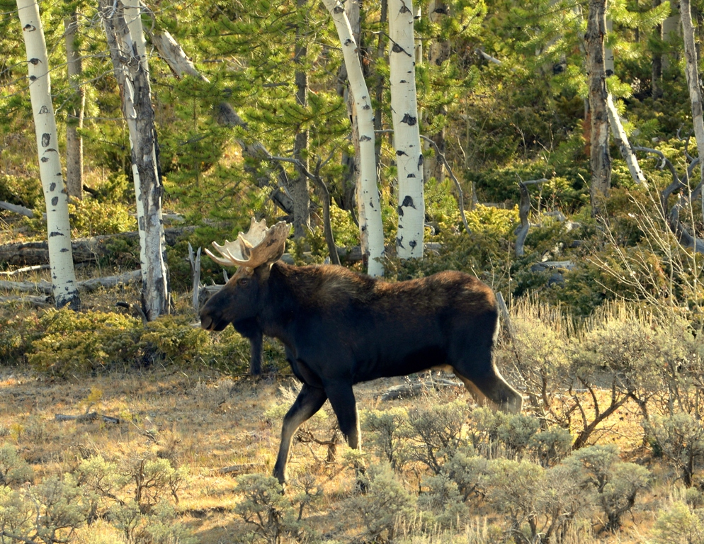 Moose – Bull | Walden, Colorado | October, 2012