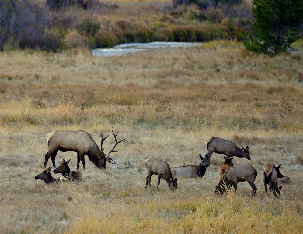 Elk – Bull, Cows, Calves | Grand Lake, Colorado | October, 2012