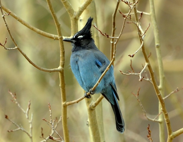 Steller's Jay | Walden, Colorado | October, 2012