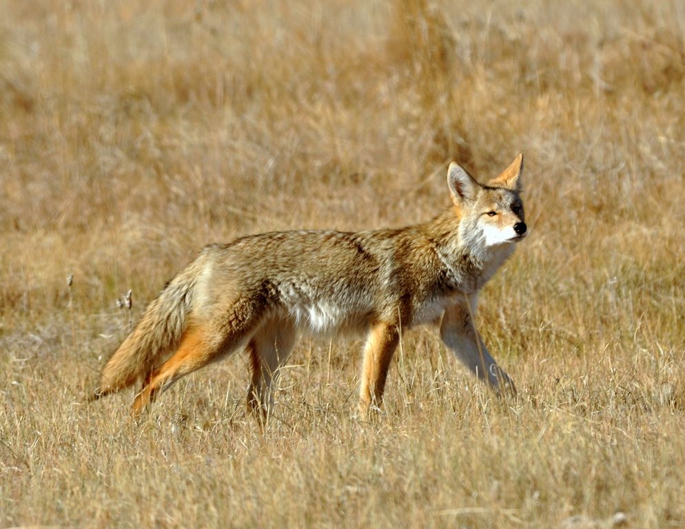 Coyote | Walden, Colorado | October, 2012