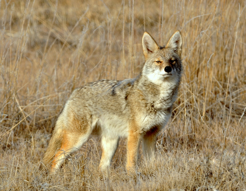 Coyote | Walden, Colorado | October, 2012 | Tony Thomas ...