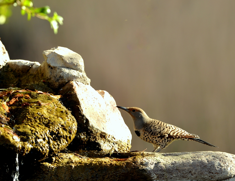 Northern Flicker – Red Shafted | Cave Creek Canyon, Arizona | November, 2012