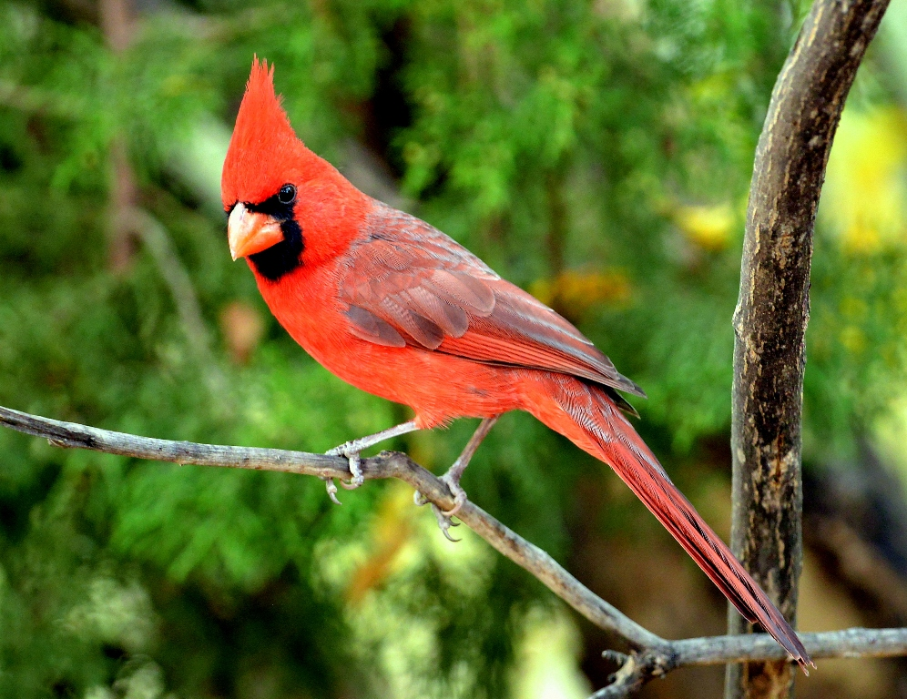 Northern Cardinal – Male | Cave Creek Canyon, Arizona | November, 2012