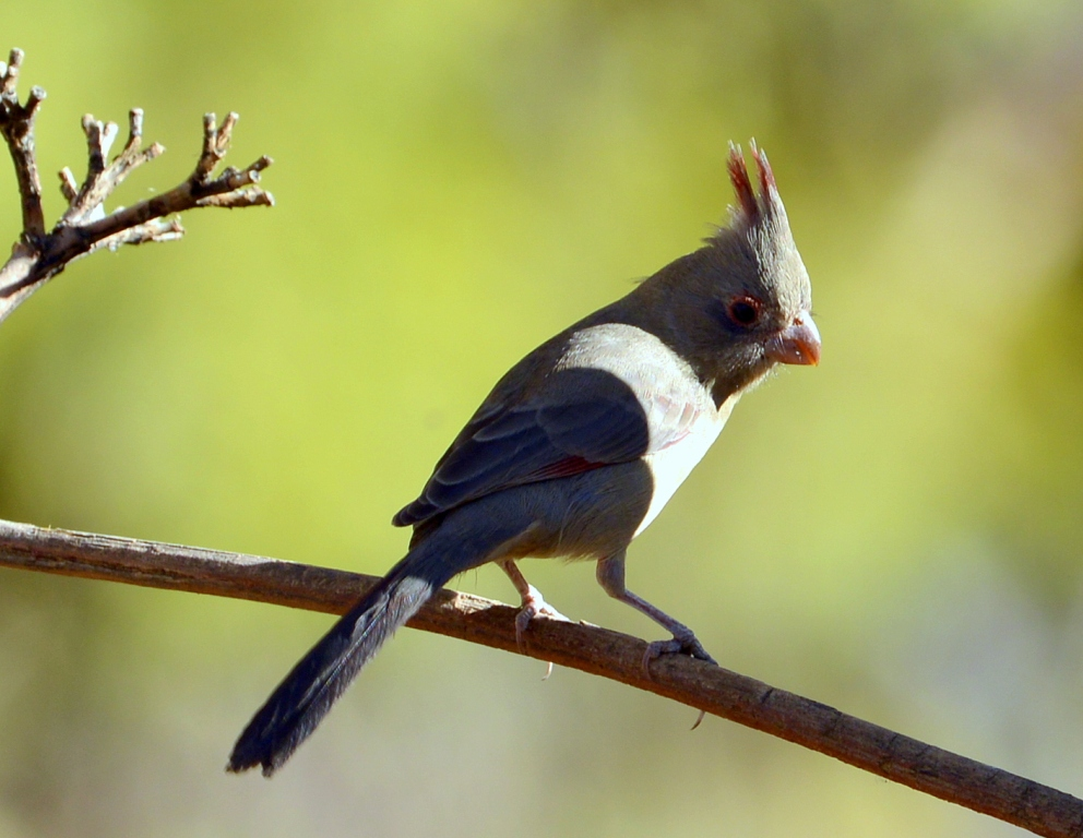 Pyrrhuloxia – Female | Cave Creek Canyon, Arizona | November, 2012